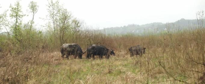 В Долину нарциссов после почти столетнего отсутствия вернулись карпатские буйволы