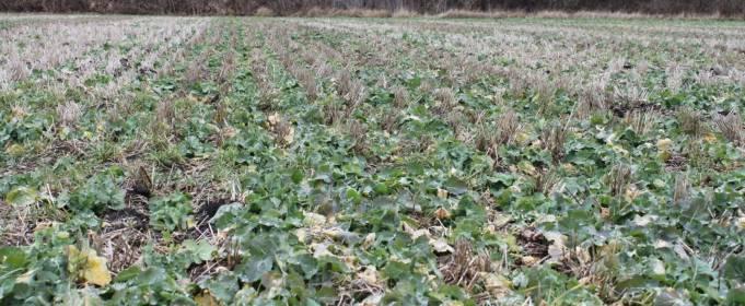 На Сумщині через несприятливі погодні умови загинуло півтори тисячі гектарів озимих