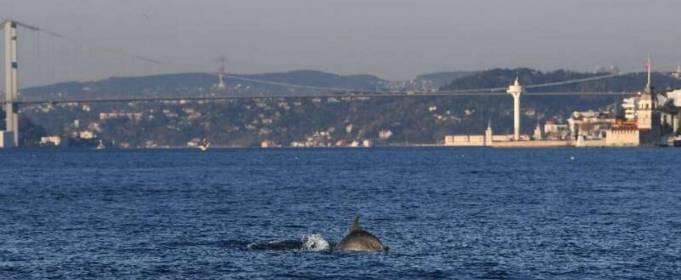 В протоку Босфор повернулися дельфіни