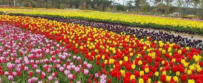 В Южной Корее проходит фестиваль тюльпанов