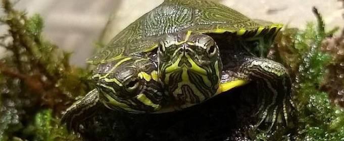 Маленькую двухголовую черепаху обнаружили в США