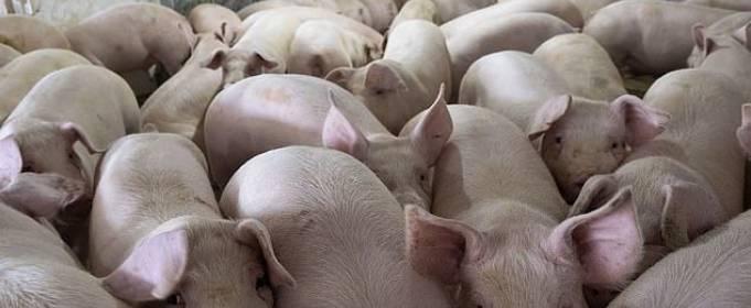 В США из-за коронавируса уничтожают свиней