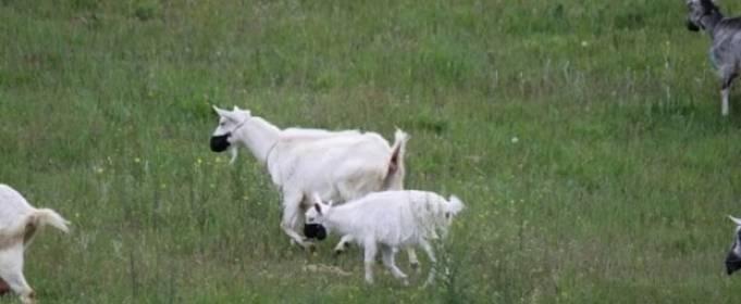 В Днепре соблюдают карантин даже козы