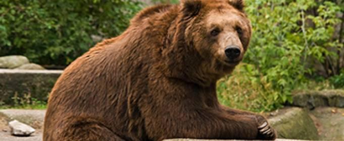 В варшавском зоопарке пьяный посетитель пытался утопить медведицу