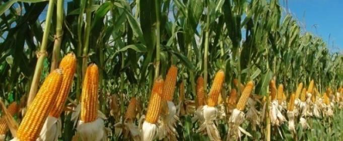 Майские дожди в Украине могут поспособствовать рекордному урожаю кукурузы