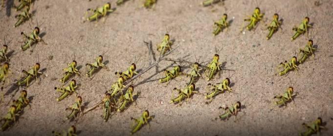 Восточная Африка переживает нашествие саранчи