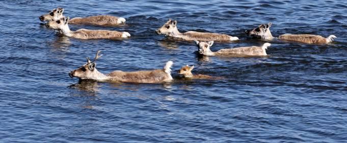 Дикие северные олени могут исчезнуть