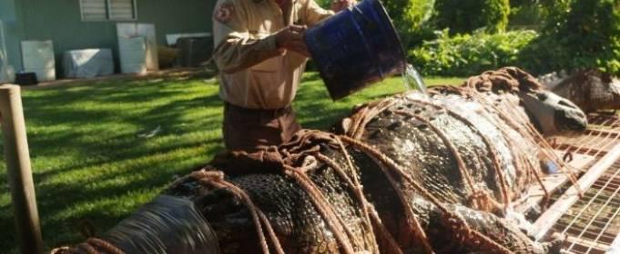 В Австралии поймали очень крупного крокодила
