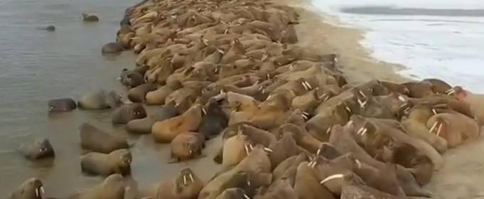Моржи покинули Печорское море