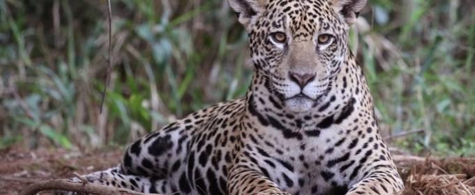 Пожежі в Бразилії підібралися до заповідника ягуарів