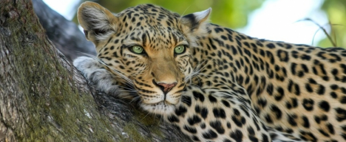 В ЮАР леопард прогулялся по ресторану