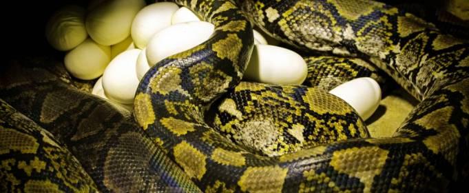 Ученые пытаются выяснить, как 62-летняя самка питона отложила яйца без самца