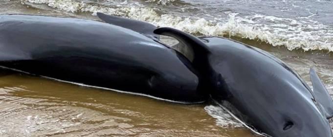 Почти 400 дельфинов погибли на берегу Тасмании