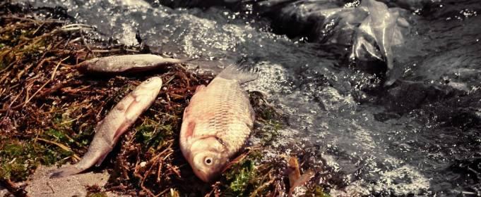 Чому на Камчатці гине морська фауна?