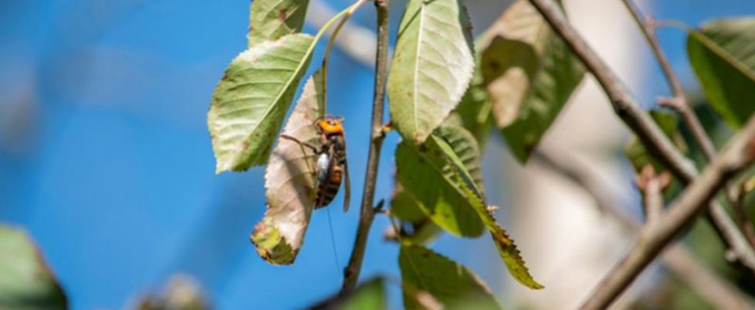 Азиатские «шершни-убийцы»: в США нашли и уничтожили первое гнездо