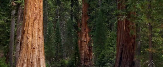 Изменение климата: какую роль играют гигантские деревья