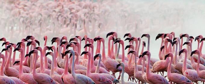 В Казахстане розовые фламинго сели отдохнуть на озере Караколь