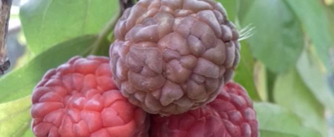 В одеському ботсаду дозрів урожай полуничного дерева