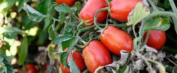 Вчені Ізраїлю створюють помідор, який лікує захворювання очей