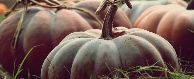 Фермер вырастил тыкву весом почти 900 кг