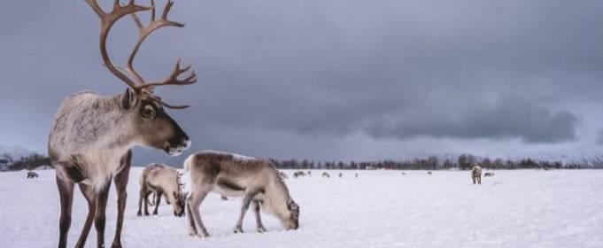 В Швеции построят мосты для северных оленей
