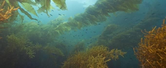 Морская капуста поможет бороться с глобальным потеплением