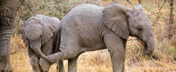 Слонів у Африці стає все менше