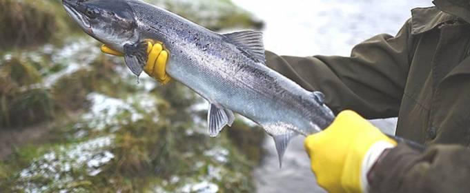 На Земле катастрофически сокращается количество пресноводных рыб