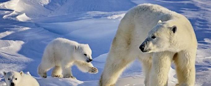 Потепление вынудило белых медведей тратить в четыре раза больше энергии