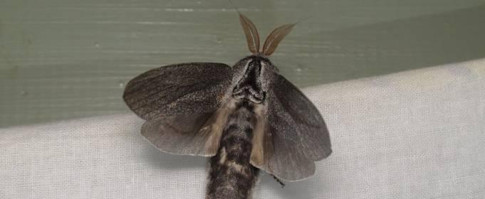 В Австралії знайшли гігантського метелика