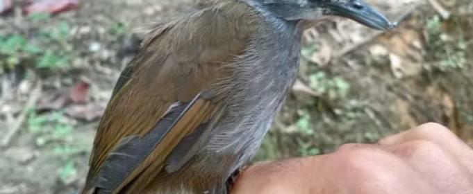 На Борнео виявили птаха, якого 170 років вважали вимерлим