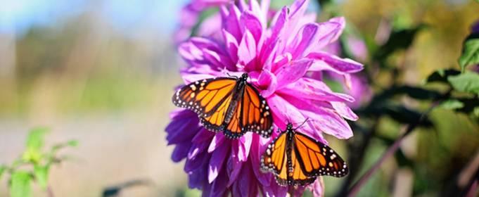 Через підвищення осінніх температур у США зникають метелики