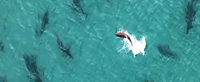 Большое скопление акул обнаружено у побережья Флориды