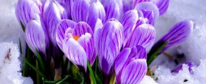 В Украине ежегодно на продажу уничтожают более 20 млн первоцветов