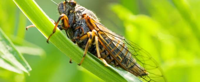 В США впервые за 17 лет ожидается нашествие цикад