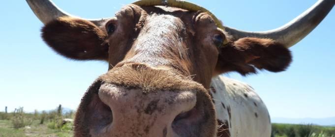 Китайський гороскоп на травень: Бик