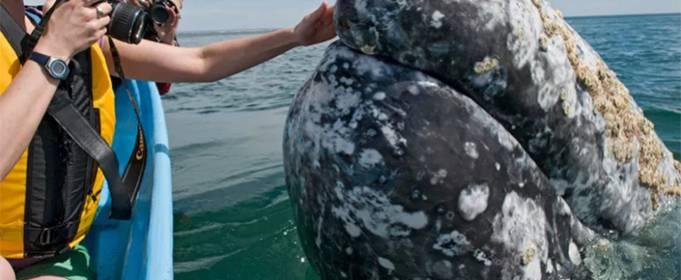 Огромный серый кит замечен у берегов Италии. Видео