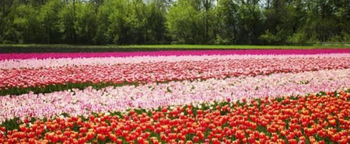 У Чернівецькій області відкрили тюльпанові поля. Відео