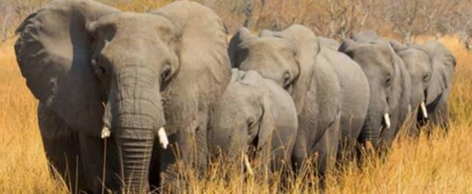 В Ботсвані масово вмирають слони і вчені не знають, чому