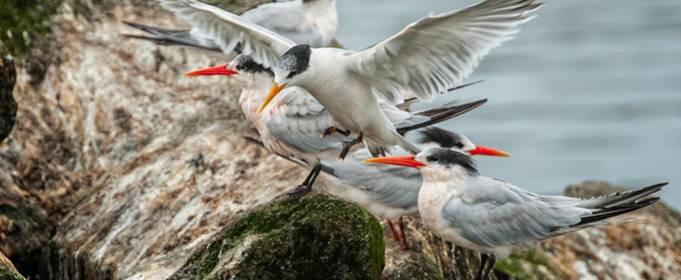 В Калифорнии сотни птиц покинули кладки яиц из-за дрона