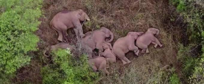 Бродячие слоны разоряют Китай и отдыхают в перерывах