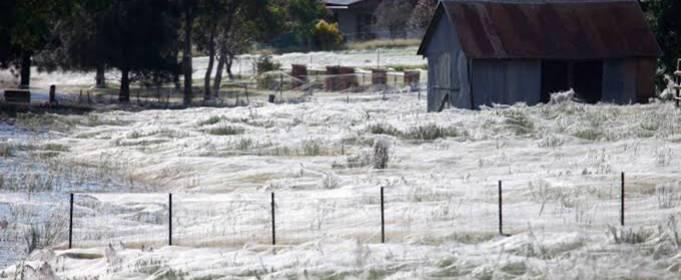 Після повеней в Автралії почалося нашестя павуків