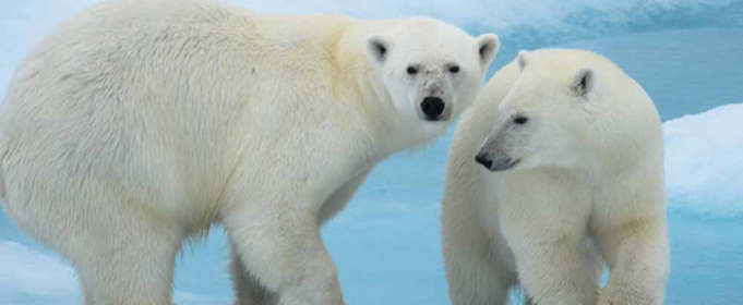 Таяние льдов в Арктике отравляет белых медведей