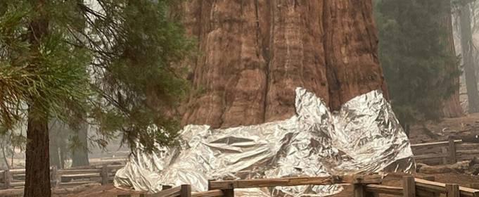 Самое большое в мире дерево завернули в защитное одеяло, чтобы защитить от пожара