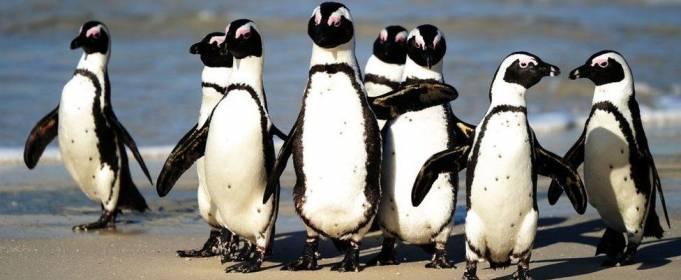 Пчелы убили находящихся под угрозой исчезновения южноафриканских пингвинов
