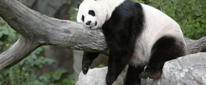 Панды в дикой природе не хотят заводить потомство
